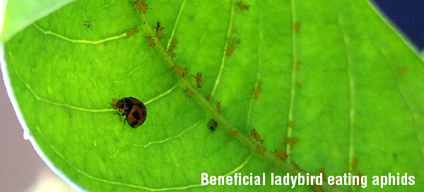 Beneficial ladybird eating aphid