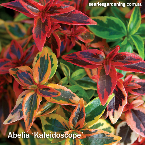 Best foliage plants for garden colour and contrast - Abelia Kaleidoscope