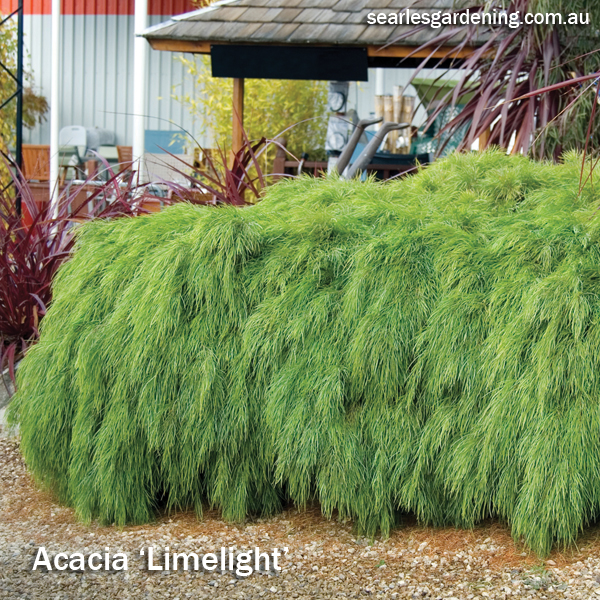 Best foliage plants for garden colour and contrast - Acacia Limelight