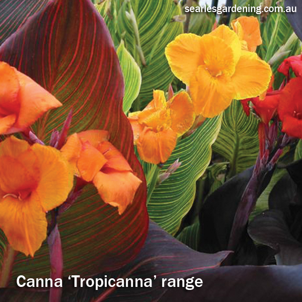 Best foliage plants for garden colour and contrast - Canna Tropicanna range