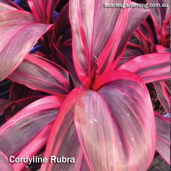Best foliage plants for garden colour and contrast - Cordyline rubra