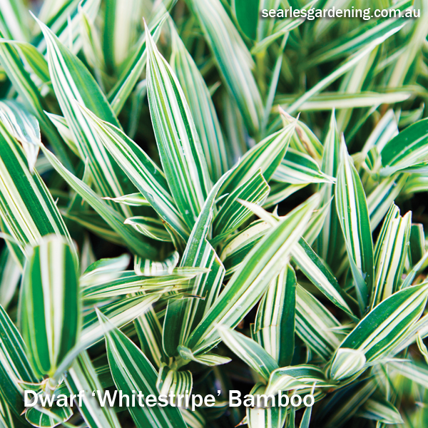 Best foliage plants for garden colour and contrast - Dwarf Bamboo Whitestripe