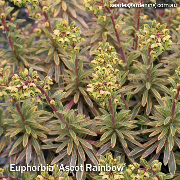 Best foliage plants for garden colour and contrast - Euphorbia Ascot rainbow