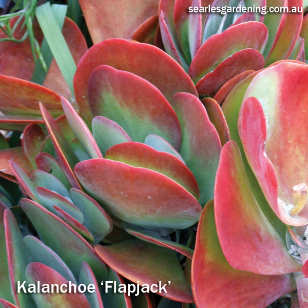Best foliage plants for garden colour and contrast - Kalanchoe Flapjack