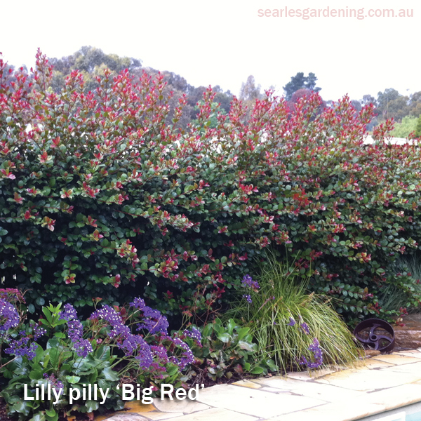 Best foliage plants for garden colour and contrast - Lilly pilly big red