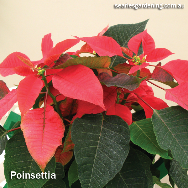 Best foliage plants for garden colour and contrast - Poinsettia