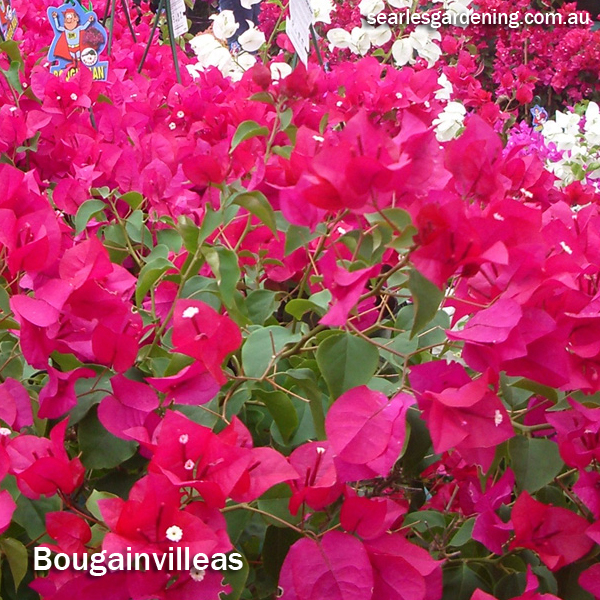 Best fast growing plants for privacy and screening - Bougainvillea
