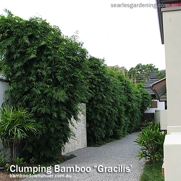 Best fast growing plants for privacy and screening - Clumping bamboo