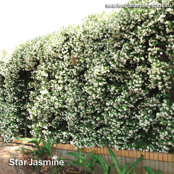 Best fast growing plants for privacy and screening - Star Jasmine