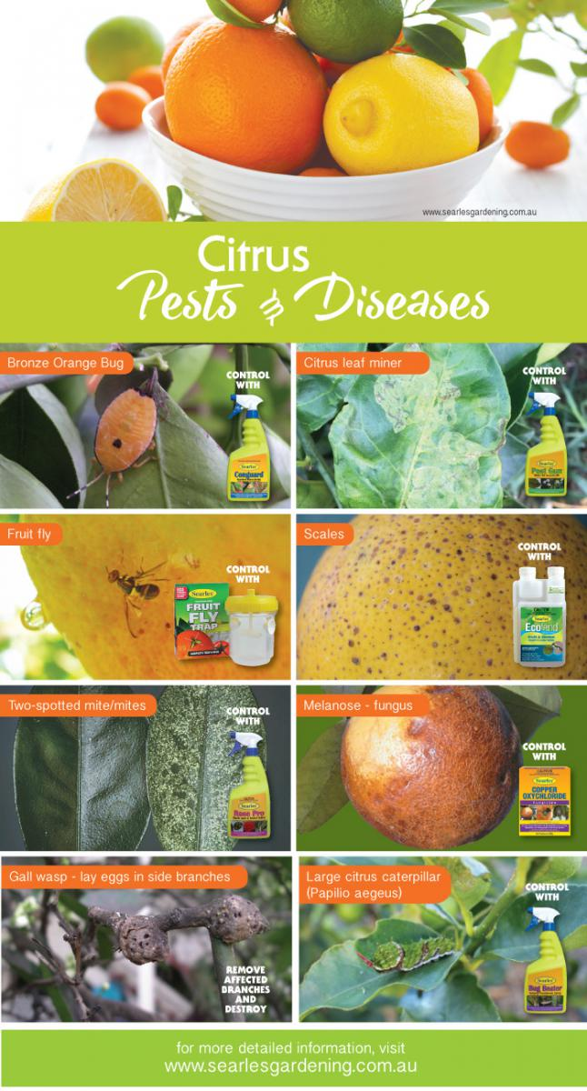 Citrus pests and diseases problem solutions #gardening #indoor #diy #homedecor #australia #searlesgardeningproducts