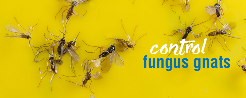 Control fungus gnats on indoor pot plants black flies