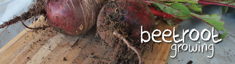 Garden - How to Grow - Growing Beetroot
