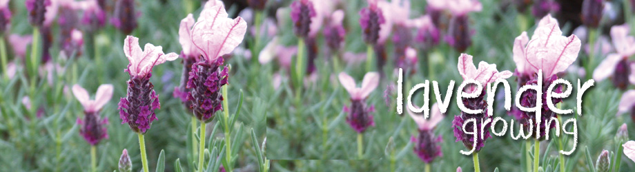 Garden - How to Grow - Growing English and French Lavender