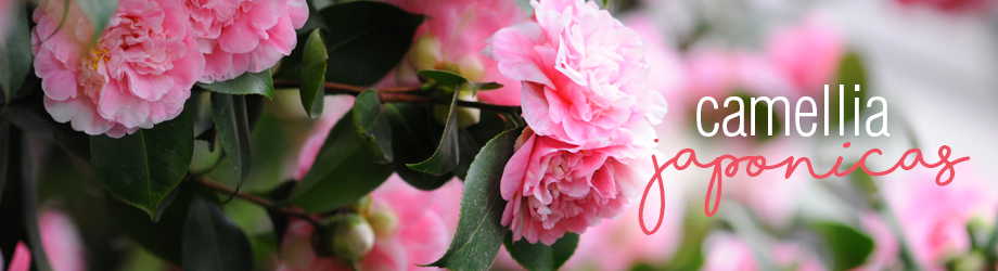 How to grow and plant camellia japonicas