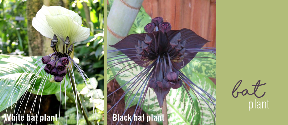 How to grow, water and fertilise bat plants