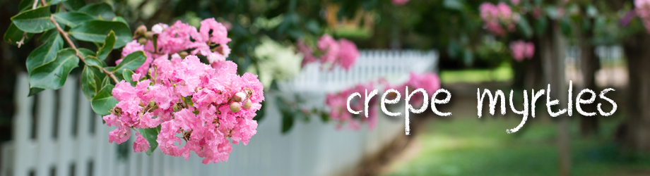 How to grow and care for crepe myrtles - crepe myrtle varieties
