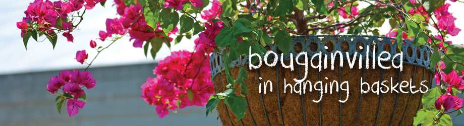 Garden - How to grow - growing and planting bougainvilleas in hanging baskets and pots