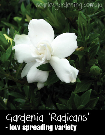 How to grow gardenias planting and care guide searles gardening gardenia augusta radicans flower summer flowering plants mightylinksfo