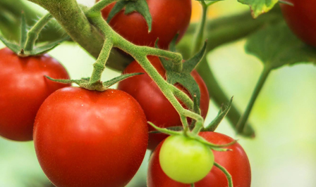 How to grow tomatoes - Watering tomatoes - Planting tomatoes