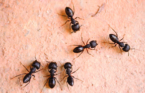 How to control - ant control in the garden