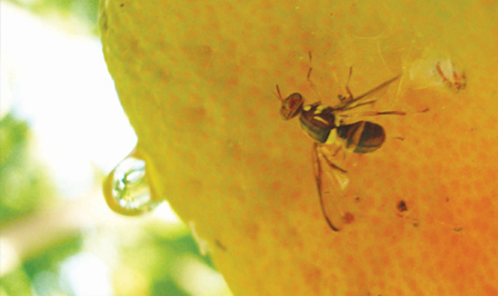 How to control fruit fly - fruit fly damage