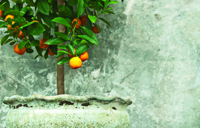 How to grow - growing and planting citrus in pots