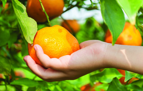 How to grow - growing and planting citrus