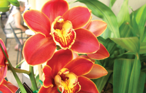 How to grow - growing and planting cymbidium orchid