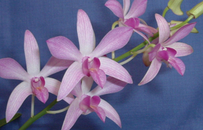 How to grow - growing and planting dendrobium orchid