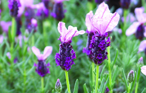 How to grow - growing and planting lavender