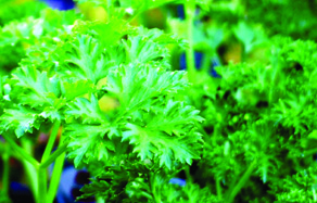 How to grow - growing and planting parsley