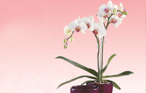 How to grow - growing and planting phalaenopsis orchid
