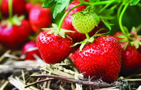 How to grow - growing and planting strawberries