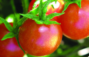How to grow tomatoes - planting and fertilising care guide