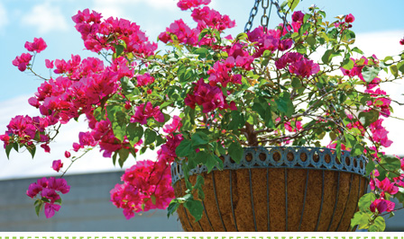 How to grow and plant bougainvillea in hanging baskets