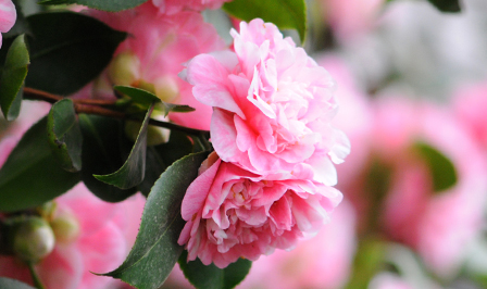 How to grow winter camellia japonicas in Australia