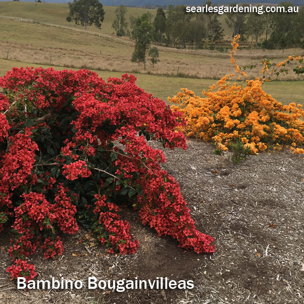 Instant Spring Flower colour in the garden Bambino Bougainvilleas
