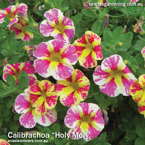 10 best instant spring flowering plants fast growing searles instant spring flower colour in the garden calibrachoa mightylinksfo