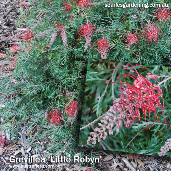 Instant Spring Flower colour in the garden Grevillea Little Robyn