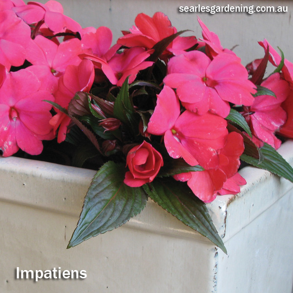 Instant Spring Flower colour in the garden Impatiens