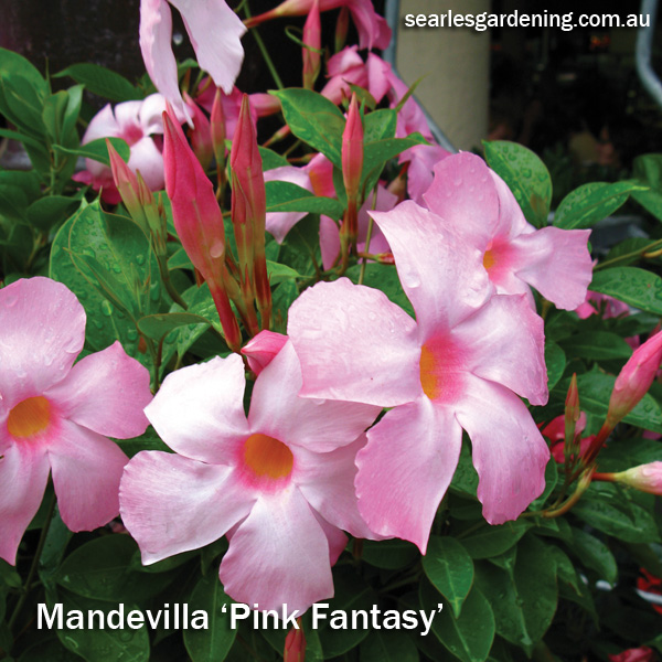 10 best instant spring flowering plants fast growing searles instant spring flower colour in the garden mandevilla mightylinksfo