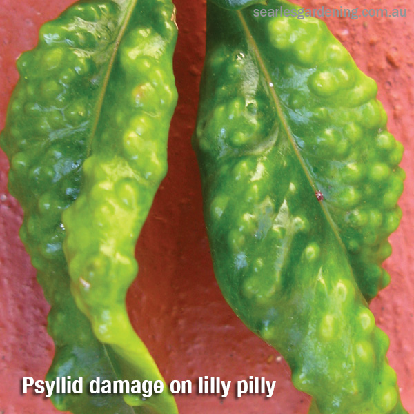 Psyllid damage on lilly pilly Australian Natives pest and diseases solutions