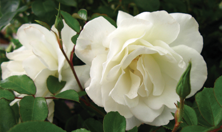 Rose care - Pests and diseases of roses Australia