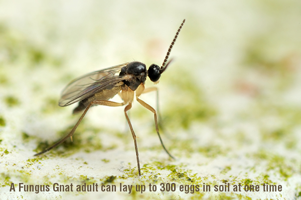 Searles Gardening Fungus Gnat Adult Fly