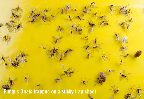 Searles Gardening Fungus Gnat trapped on sticky trap
