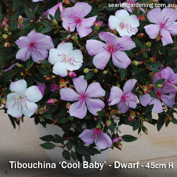 Tibouchina Cool Baby