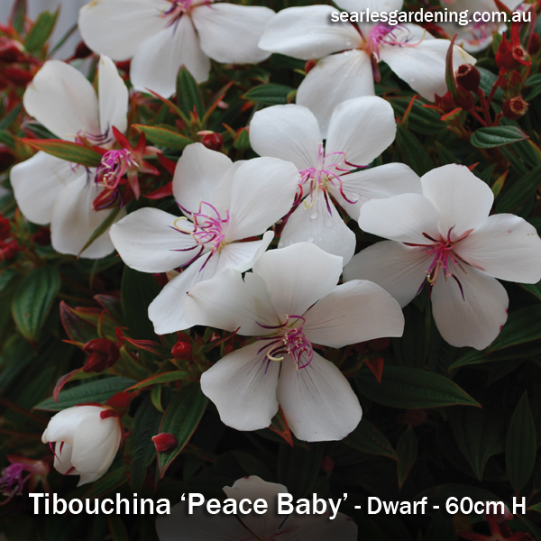 Tibouchina Peace Baby