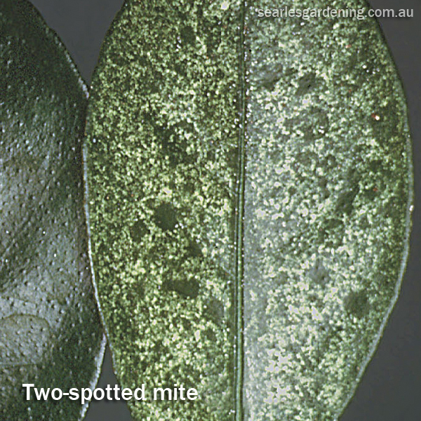 Two-spotted mite Australia
