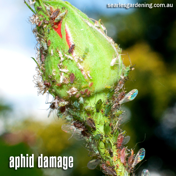 Aphid damage on rose plant