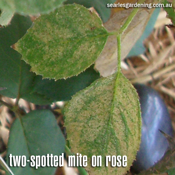 Two-spotted Mite damage on rose plant